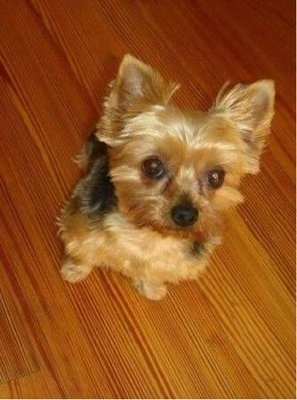 Missing Family Member Coral Springs Coral Ridge Westview Dr Image 1 Missing 10 Year Old Female Yorkie Her Name Is Sasha Losing A Dog Dr Images Gold Face