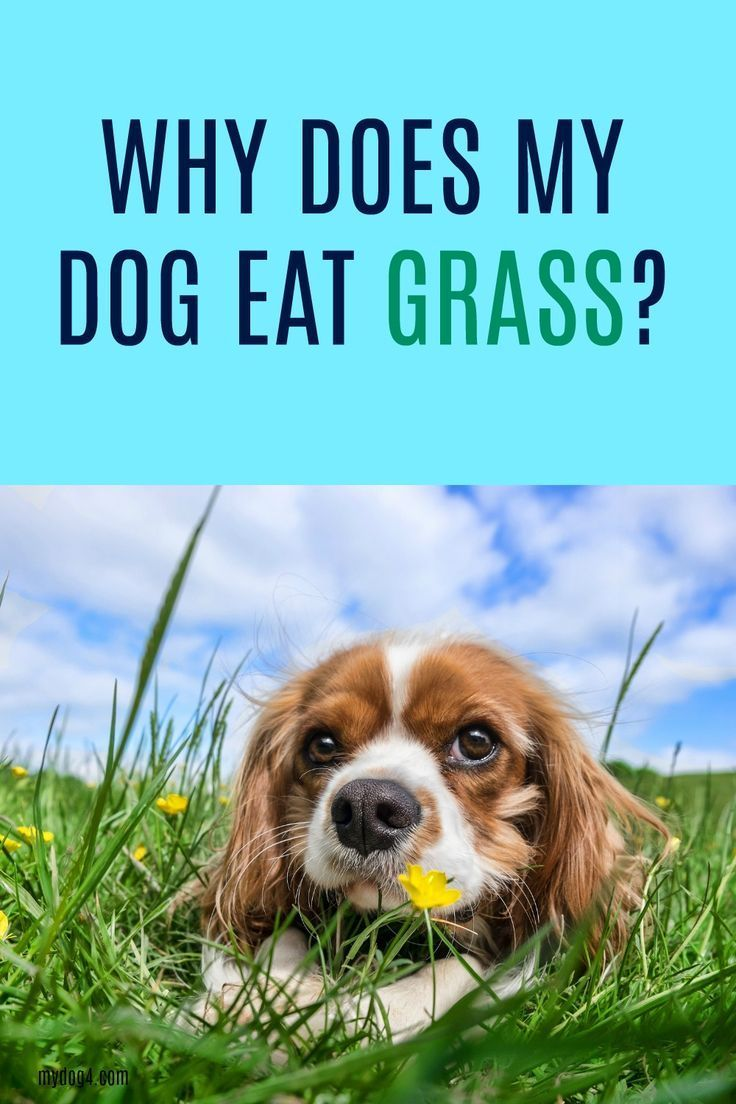 Why does my dog eat grass anything animals board pinterest