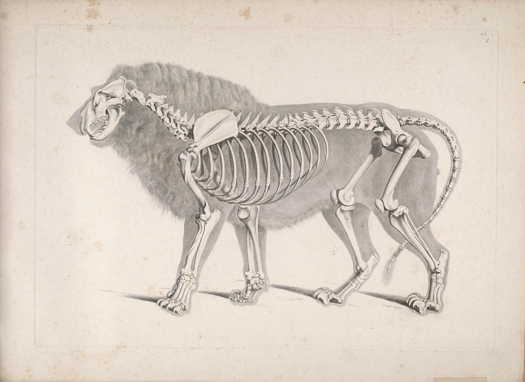 Lion / skeleton Carnivora Felidae Panthera leo | Osteology ...