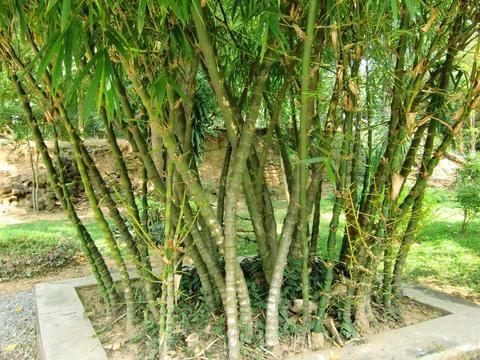 Stupendous What Are The Types Of Buddha Belly Bamboo Palm Coast Interior Design Ideas Oteneahmetsinanyavuzinfo