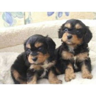 cavoodle puppy Cavoodle Puppies for sale in Ballina, New