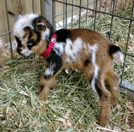 New African Pygmy Bottle Babies And Updated Miniature Goat Sales List Miniature Goats Dwarf Goats Goats