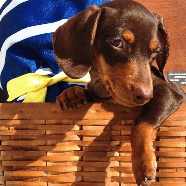 Adorable dachshund Indiana Visit our poster store