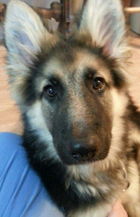 Ky 4 Months 41lbs All Ears German Shepherds Pinterest Dogs