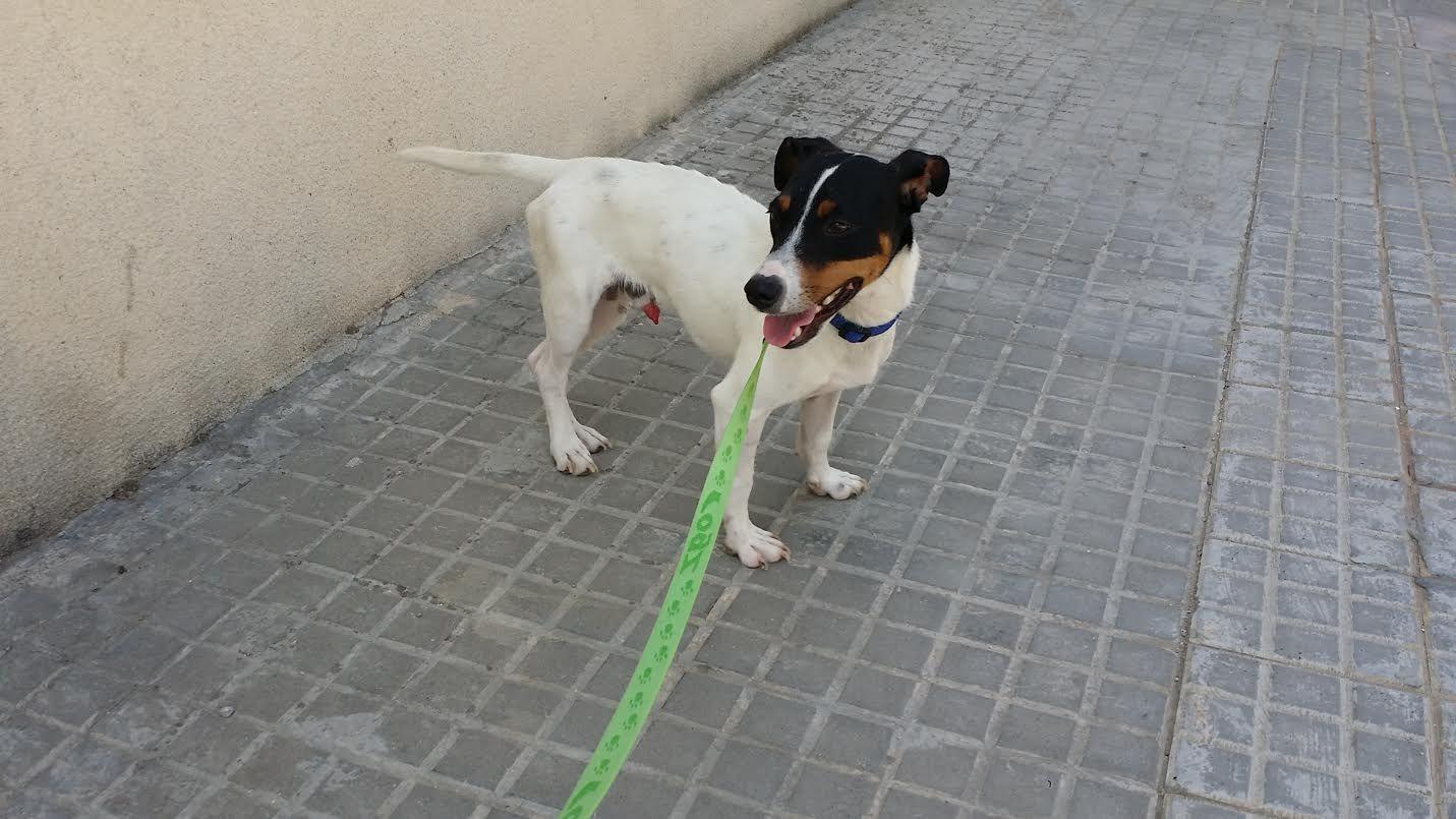 X de #Bodeguero Fue encontrado por la calles de Córdoba con la pata rota y nos hemos hecho cargo de él. Fue operado hace poco y se está recuperando super bien. Pesa unos 7 kg y es todo un amor: muy cariñoso con todo el mundo. Bien con otros perros y niños. Con gatos no lo sabemos. CONTACTO: 615 690 622 - 646 659 511 #AdoptaDAR