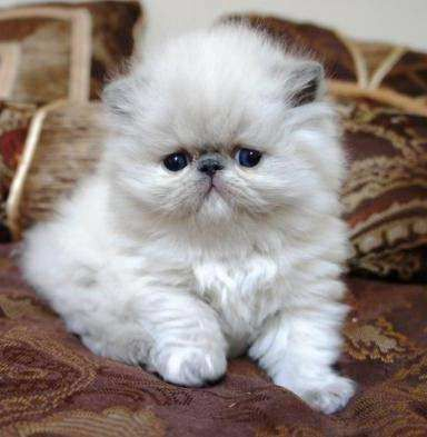 Persian Kittens Http Ift Tt 2jb3umo Cute Puppies Cats