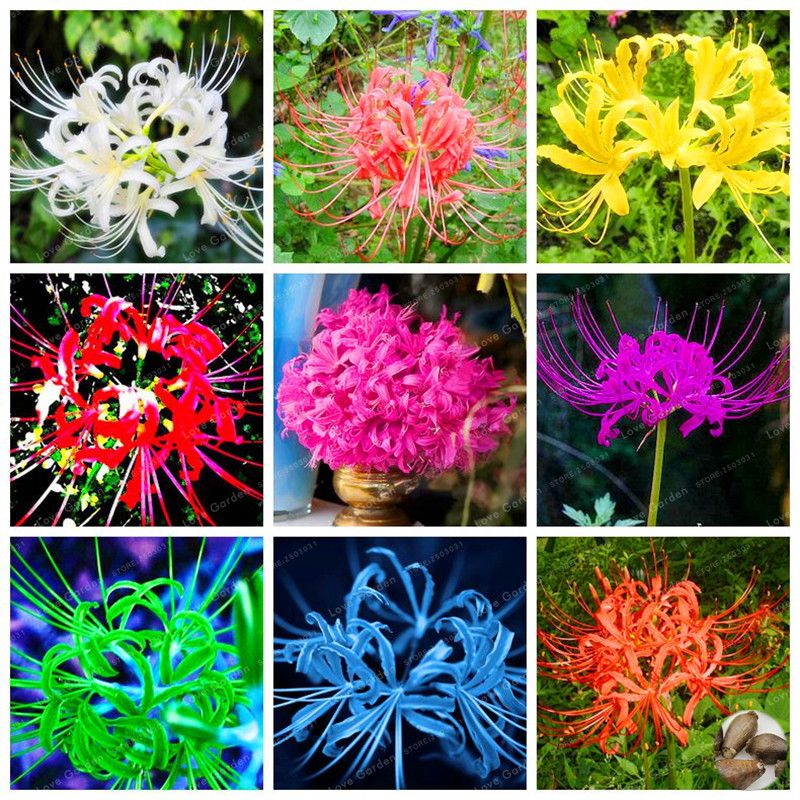 15 bulbs true lycoris radiata bulbs perennial flower bulbs natural 15 bulbs true lycoris radiata bulbs perennial flower bulbs natural growth beautiful bonsai plant diy home mightylinksfo