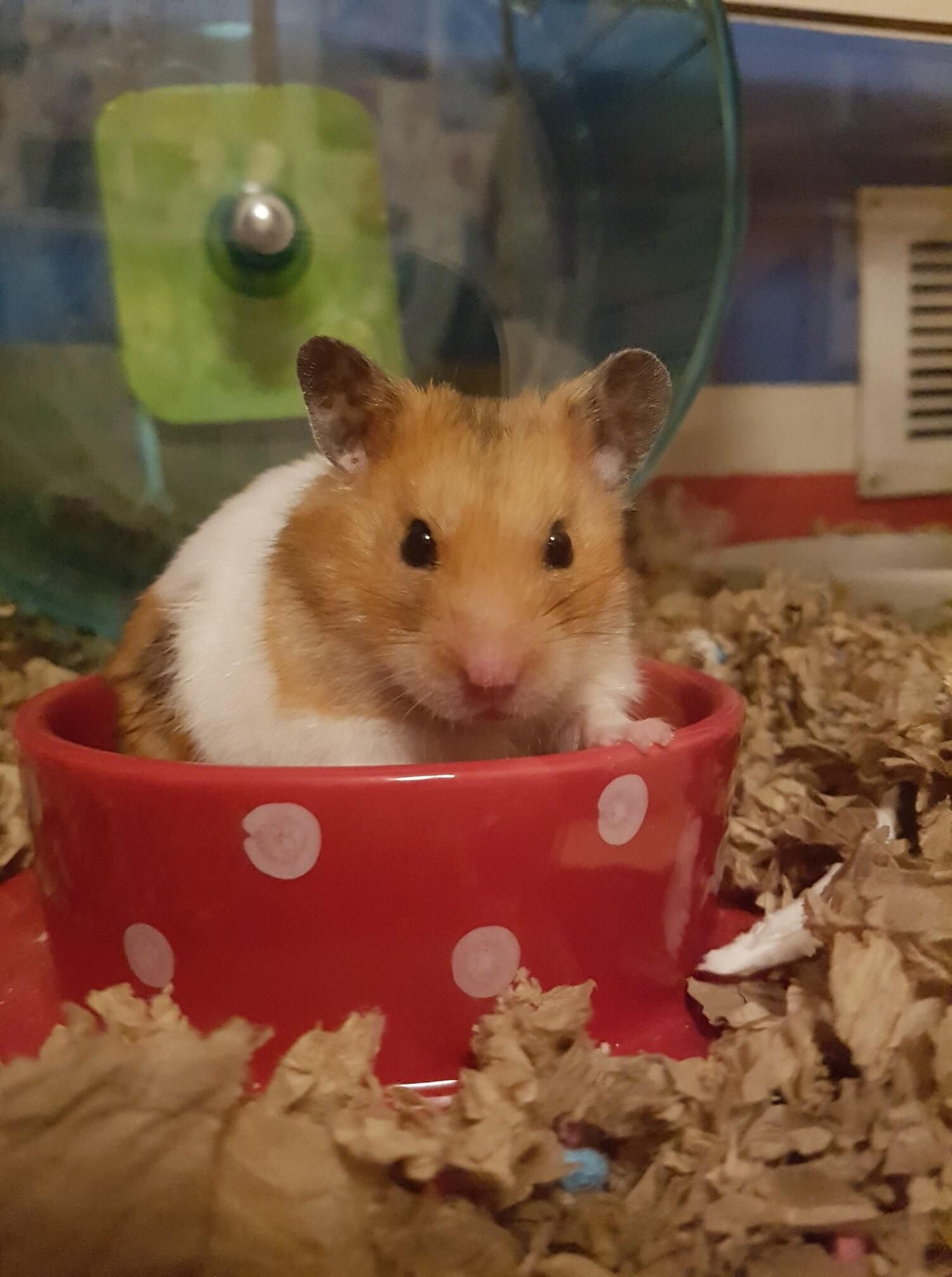 Best Thing About A New Glass House Is Hadess Posing Https Ift Tt 2pwmhn2 Cute Hamsters Super Cute Animals Cute Animals