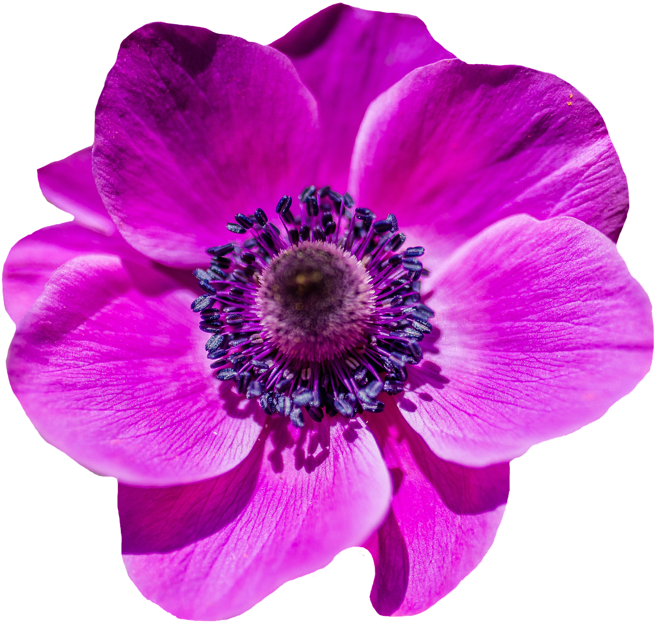 Poppy Flower Blossom Bloom Purple Flower Flower Png Images Poppy Flower Anemone Flower