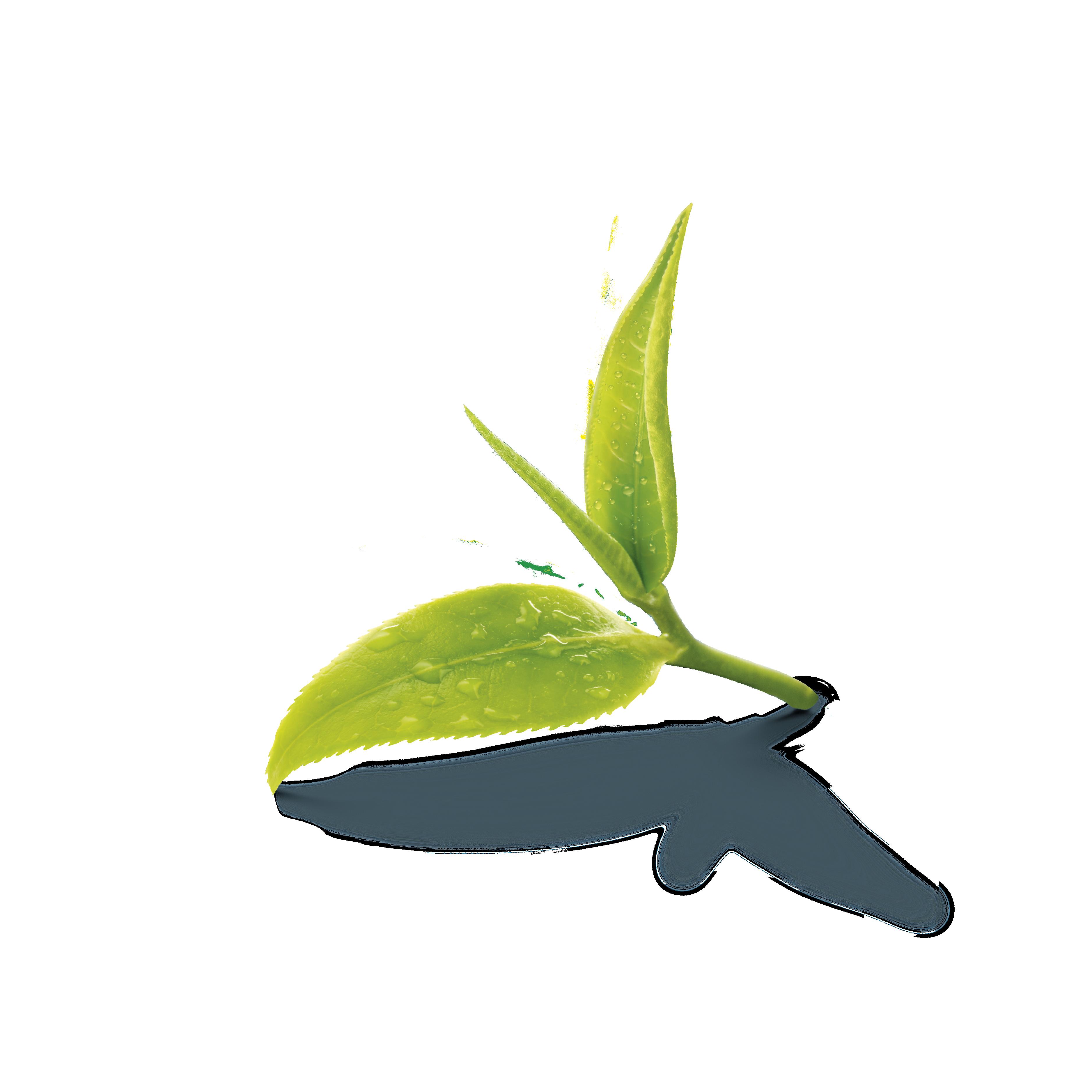 Two Tea Leaf Png And Clipart Tea Leaves Leaf Photography Tea Farm