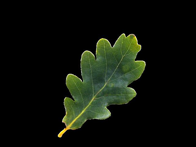 English Oak Tree Leaf Png English Oak Tree Plant Leaves Tree Leaves
