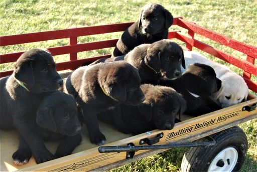 Litter Of 8 Great Pyrenees Labrador Retriever Mix Puppies For Sale In Port Royal Pa Adn 53846 On Puppyfinder Com