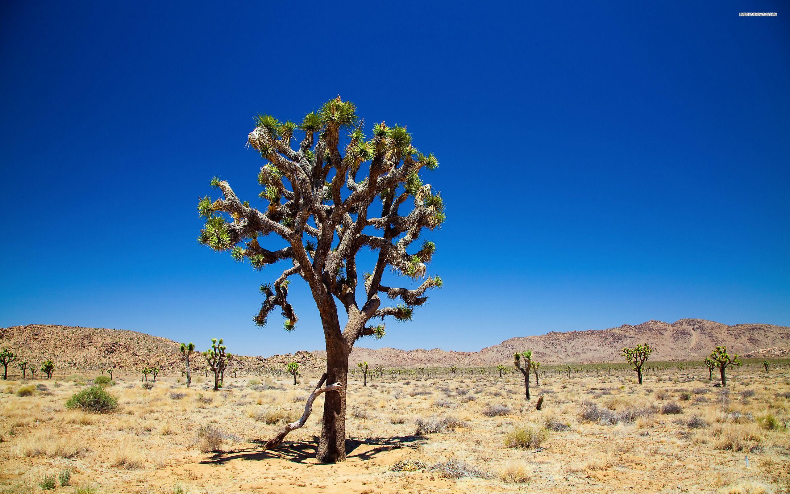 Desert Trees 539 2560 1600 Hd Wallpaper Joshua Tree National Park Joshua Tree Wallpaper Desert Trees
