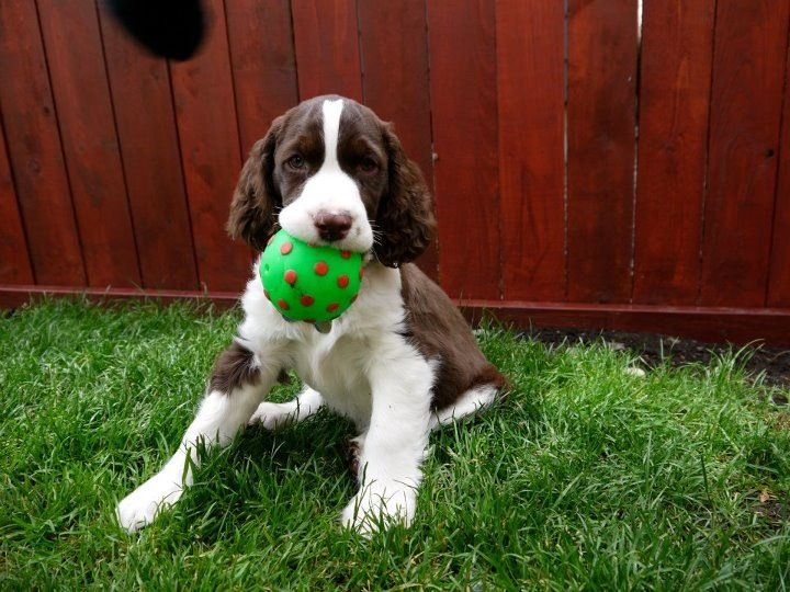Pictures Of English Springer Spaniel Dog Breed English Springer Spaniel Spaniel Puppies Spaniel Dog