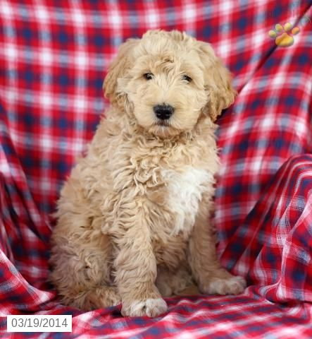 Goldendoodle Puppy for Sale in Pennsylvania Puppies for