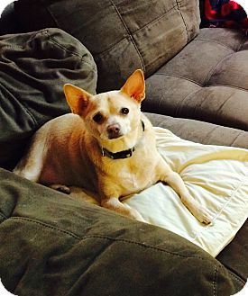 Rex Cleveland Oh Chihuahua Meet Rex A Dog For Adoption Http Www Adoptapet Com Pet 11931192 Cleveland Ohio Chihuahua Dog Adoption Pets Chihuahua