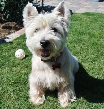 Adopt Murphy on Westies, White terrier, Dogs