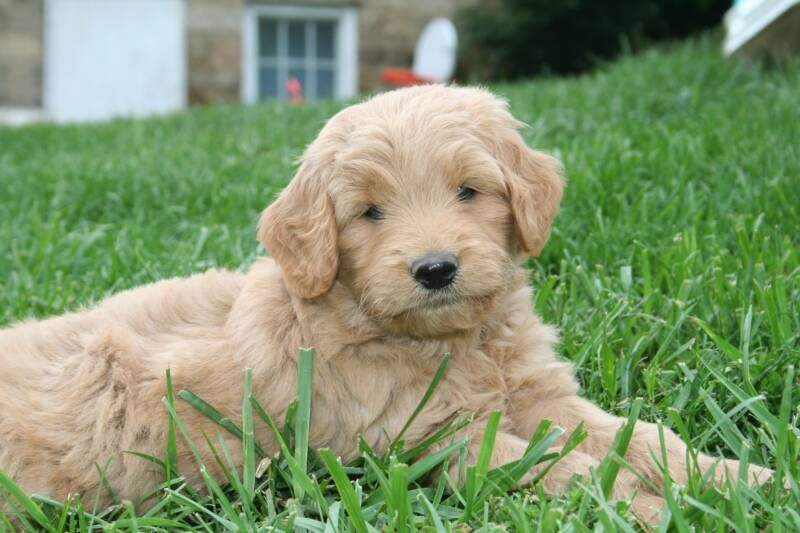Must see Labradoodle Anime Adorable Dog - ff2d0dc4906c9a0cdd26a0bb85d98e69  You Should Have_549588  .jpg