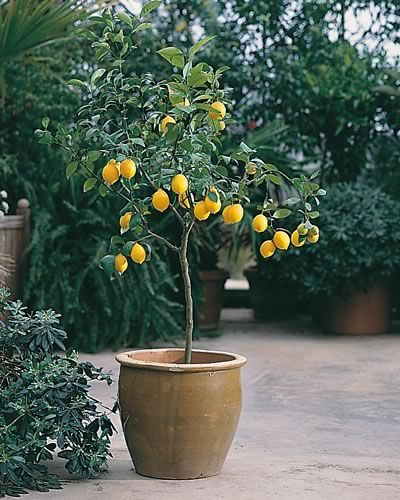 citronnier en pot j 39 en veux un sur ma terrasse jaune citron pinterest potager jardins. Black Bedroom Furniture Sets. Home Design Ideas