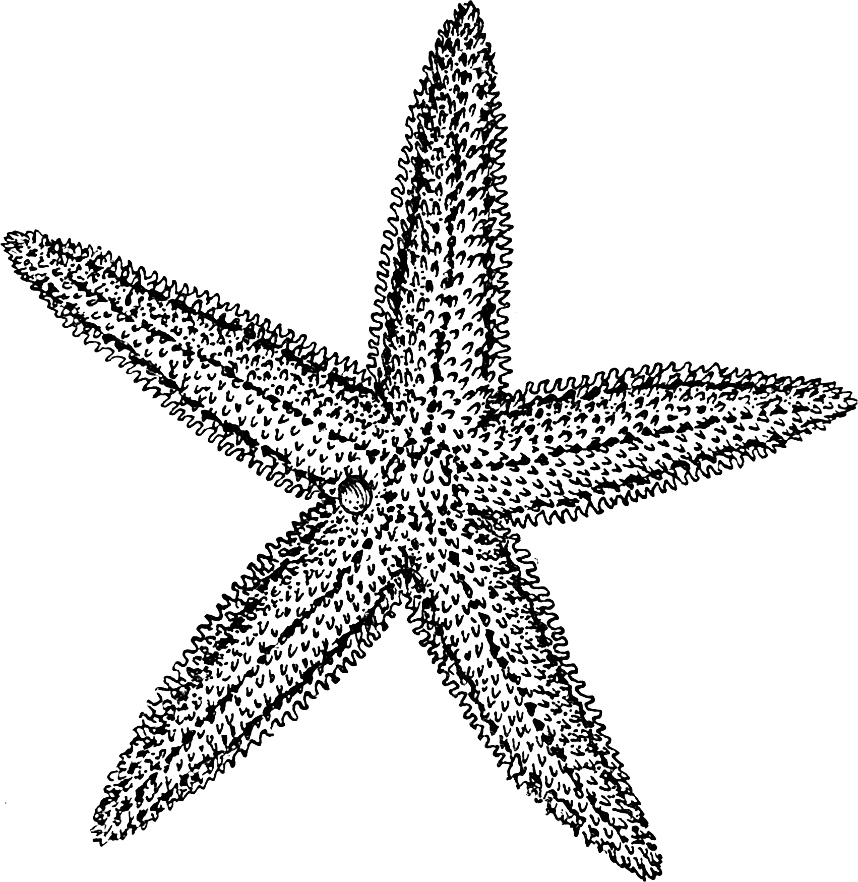 Starfish or sea stars are star-shaped echinoderms belonging to the ... for Starfish Clipart Black And White  110ylc