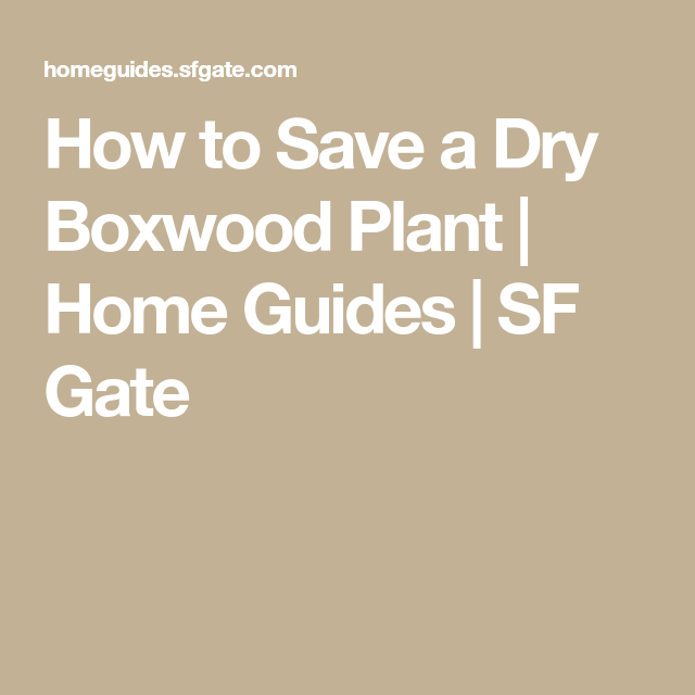How to save a dry boxwood plant home guides sf gate