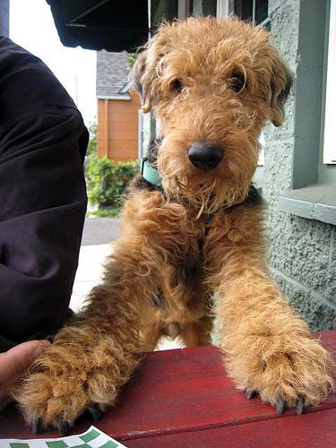 Awww Look At That Face How Can You Not Love An Airedale Terrier