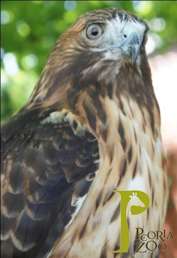 Skye, a red-tailed hawk, is an Animal Ambassador at Peoria Zoo. This native bird has eyesight 8 times as powerful as a human's. Red-tailed hawks are able to sight a mouse from heights of 100 feet!