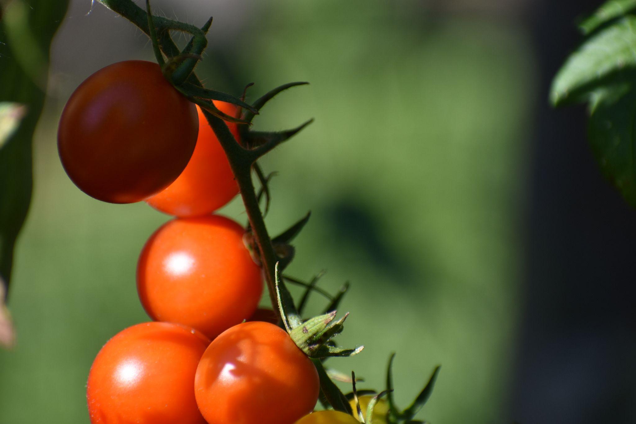 "Photo Series Life in Drumbo ""Yummy, cherry tomatoes"