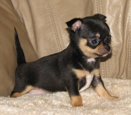 Smiley X Will Black And Tan Smoothcoat Female Chihuahua Puppy