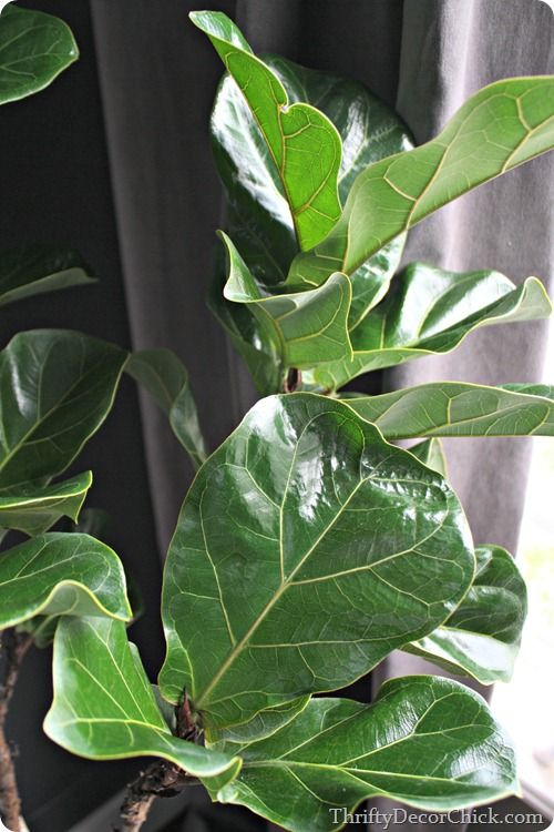 Make Plant Leaves Shine With A Product From The Fridge Helpful