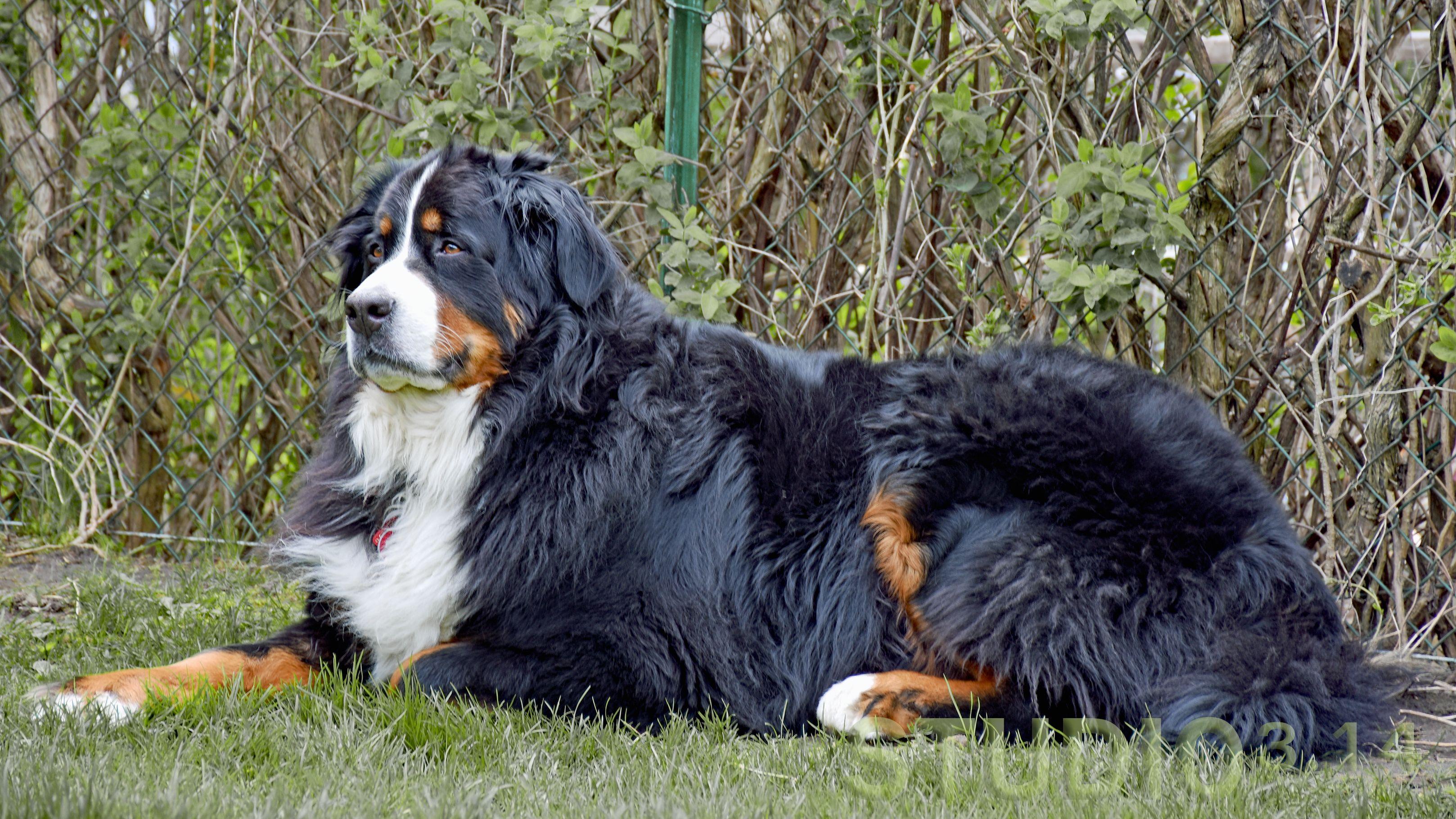Merlin The Bernese Mountain Dog Bernese Mountain Dog Bernese Mountain Mountain Dogs
