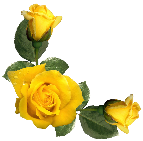 Beautiful Yellow Roses Decor PNG Image (With images