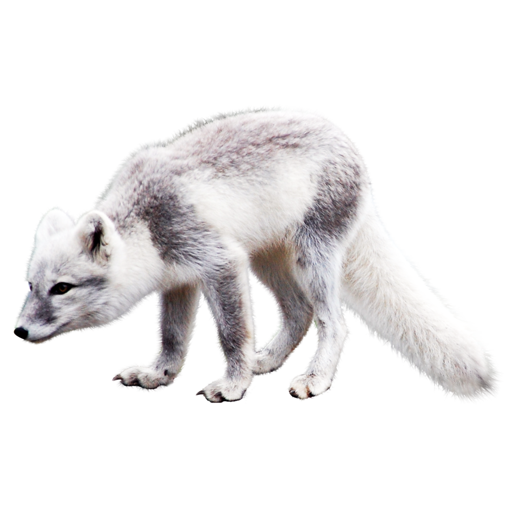 Arctic Fox Png Image With Transparent Background Png Images Arctic Fox Stock Images Free