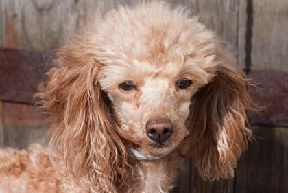 Adopt Happy Joy, a lovely 6 years  1 month Dog available for adoption at Petango.com.  Happy Joy is a Poodle, Miniature and is available at the National Mill Dog Rescue in Colorado Springs, Co.  www.milldogrescue.org #adoptdontshop  #puppymilldog   #rescue  #adoptyourfriendtoday