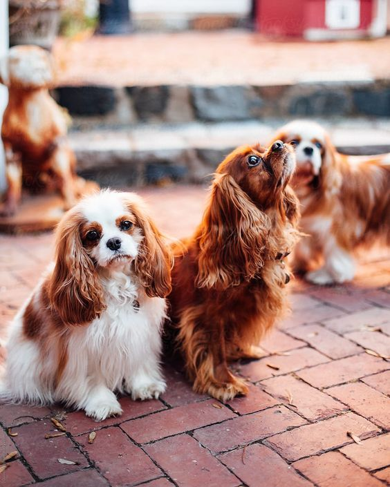 30 Best Dog Names For Cute Cavalier King Charles Spaniels Pictures Dogtime In 2020 Cavalier King Charles Dog King Charles Dog King Spaniel