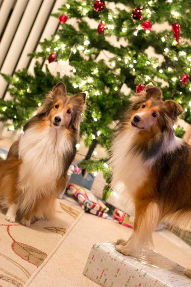 Christmas Collies!