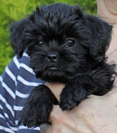 affenpinscher dog puppies and other cuties pinterest. Black Bedroom Furniture Sets. Home Design Ideas