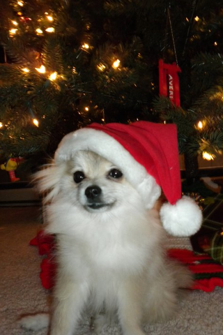 My little pomeranian Santa Jaxton <3
