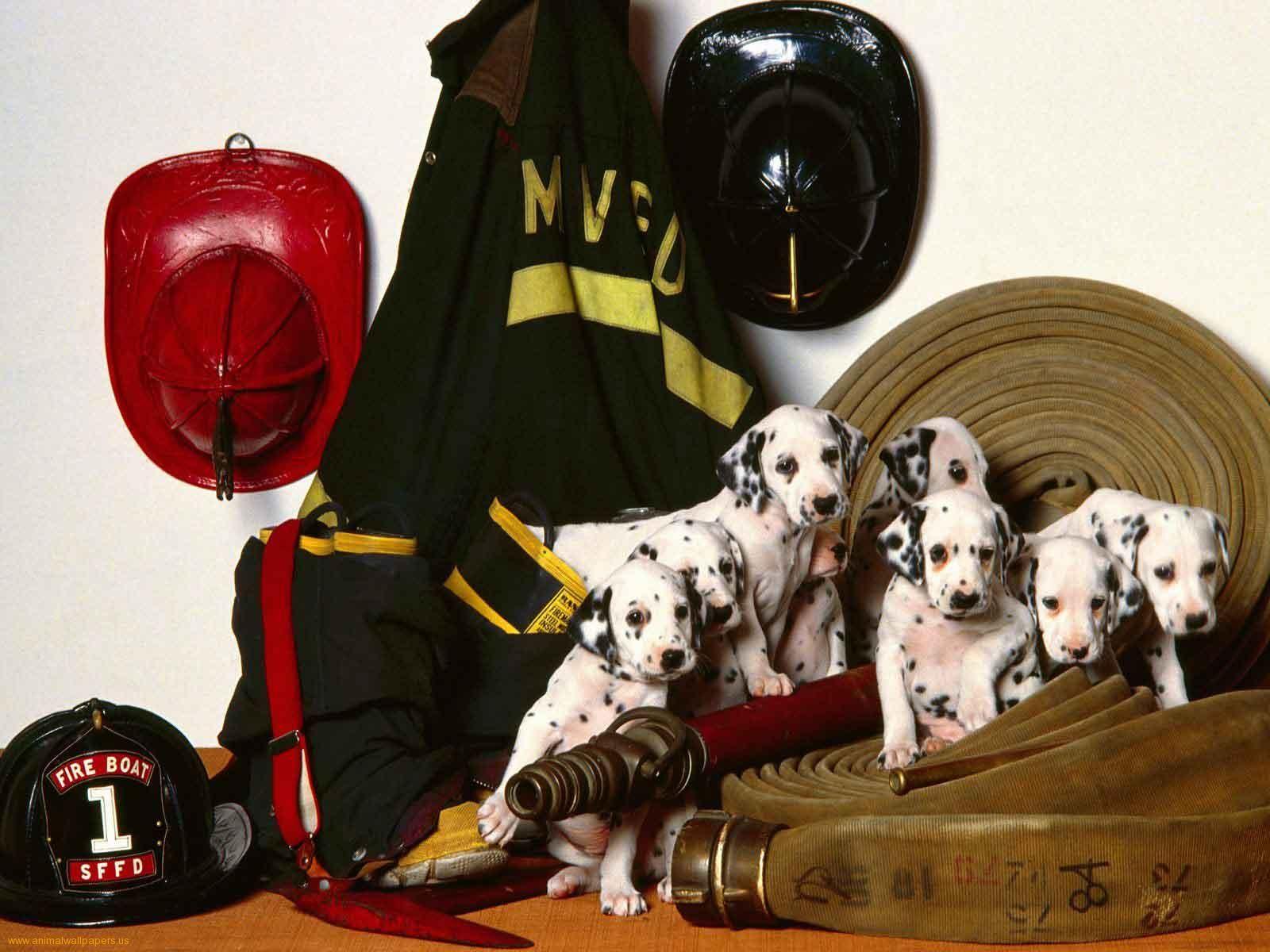 Dalmatian Puppies As Firefighters Dalmatian Puppy Dalmatian