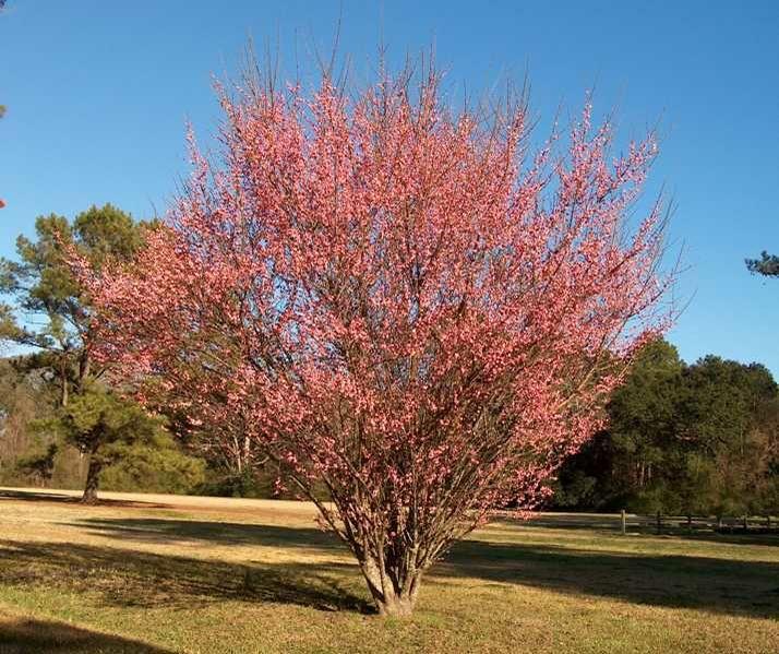 Pin By Karen Cherry On Flower Farming Prunus Mume Trees To Plant Tree Nursery