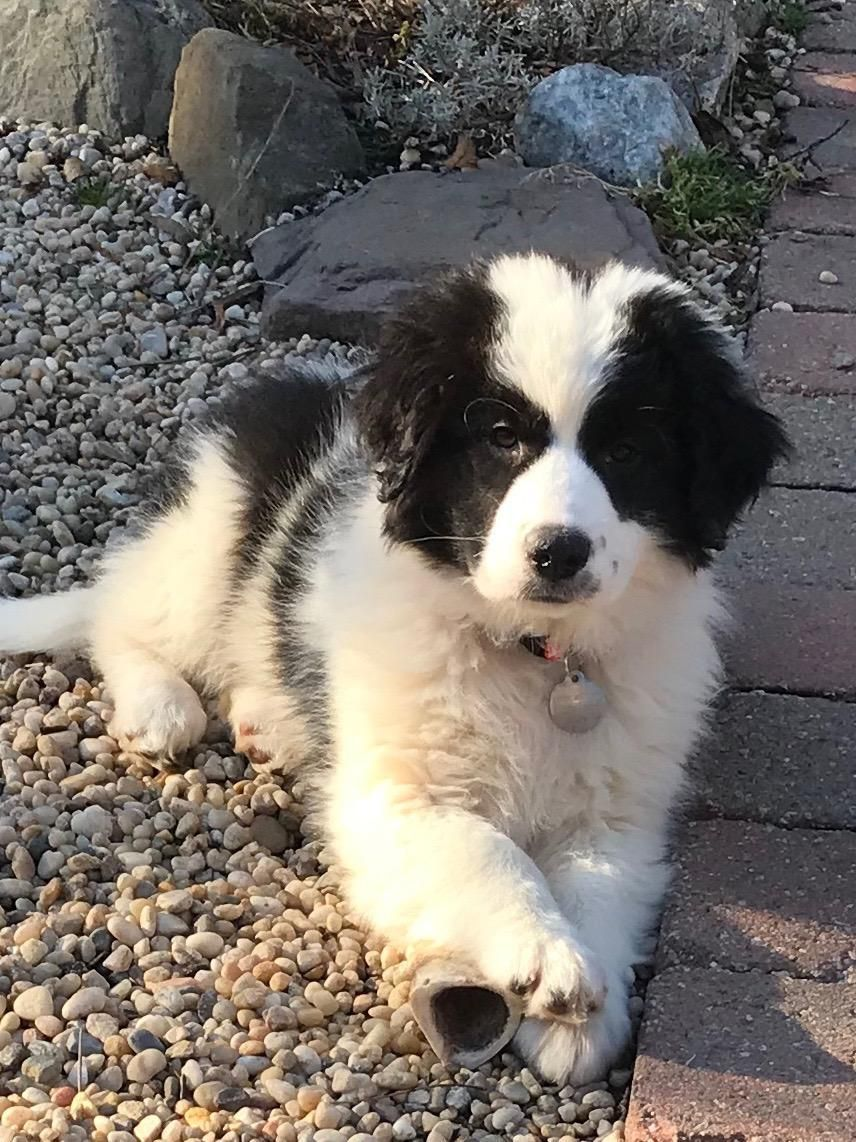 Adopt Chester On In 2020 Border Collie Mix Puppies Dog Adoption Help Homeless Pets