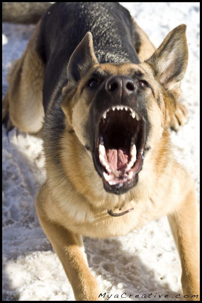 Mya Speak German Shepherd Barking German Shepherd Dogs Dogs