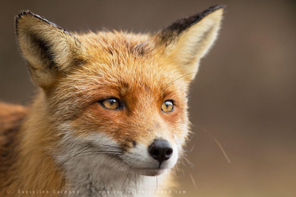 That Foxy Face by thrumyeye on DeviantArt