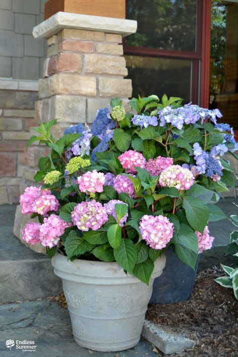 Changing Your Hydrangea Colors Is So Easy With Color Me Pink Blue