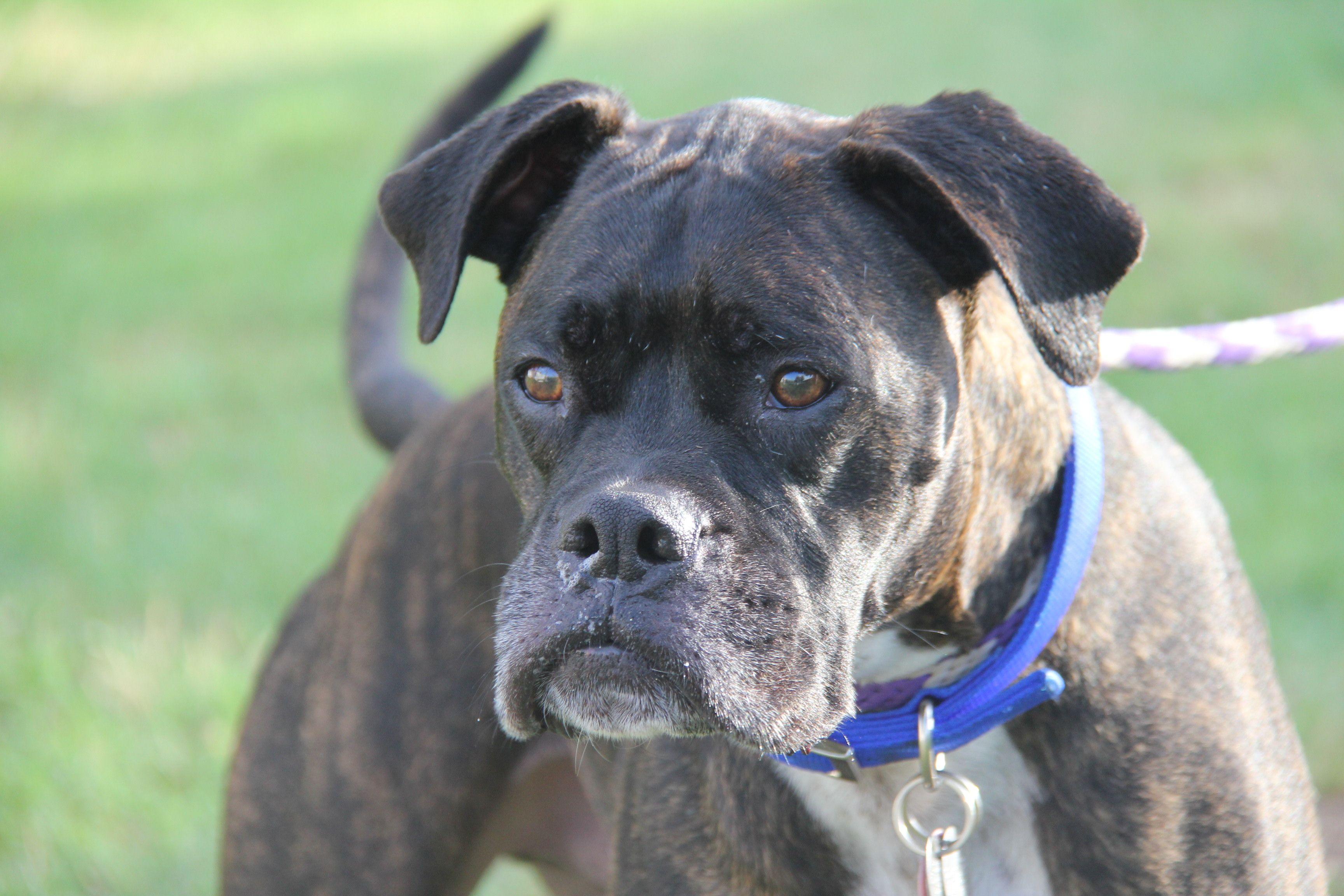 Boxer dog for Adoption in Phoenix, AZ. ADN637327 on