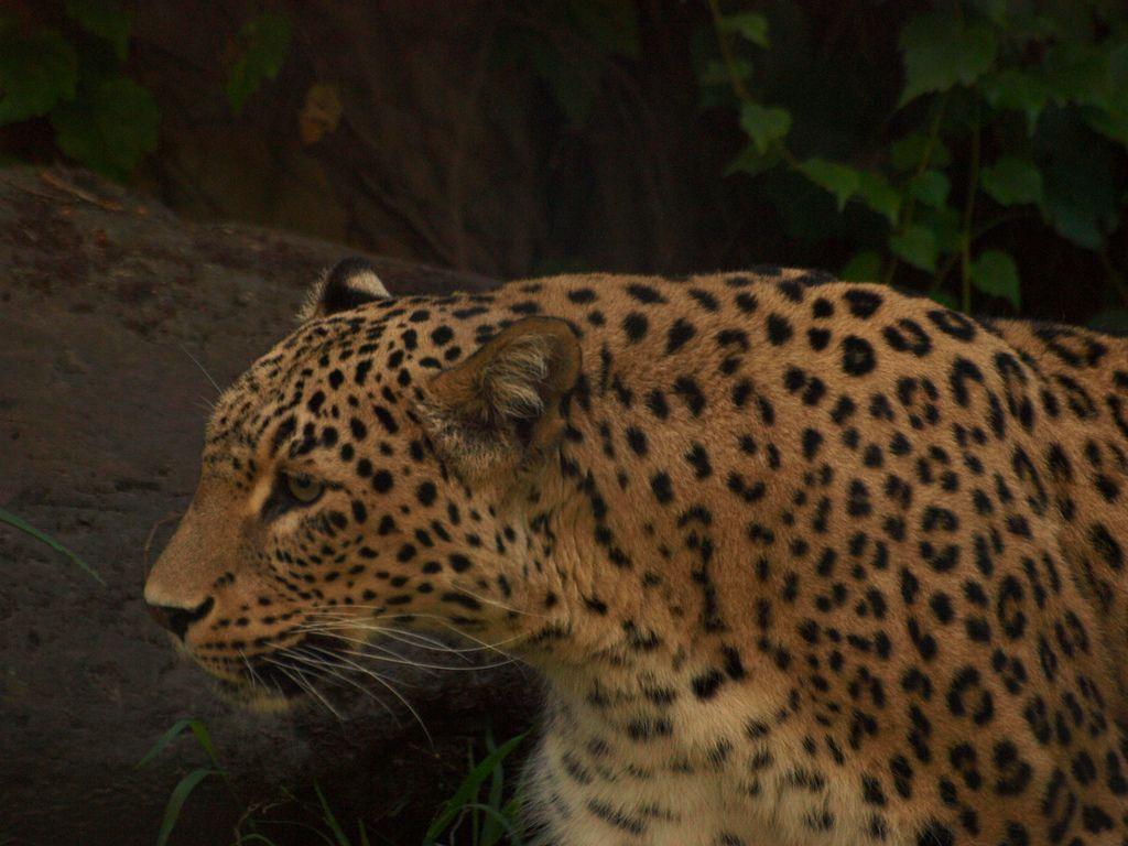 Persian Leopard Asian Wild Cats Pinterest