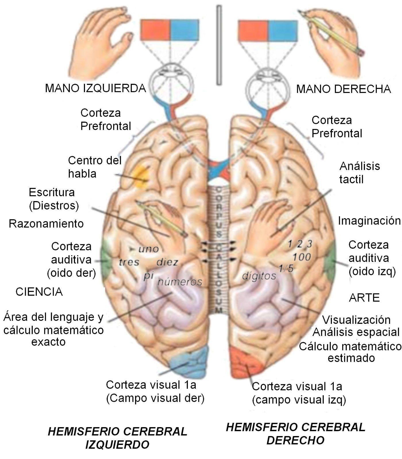 Aprender A Dibujar Con El Lado Derecho Del Cerebro Anatomia Del Cerebro Humano Terapeuta Ocupacional Cerebro Humano