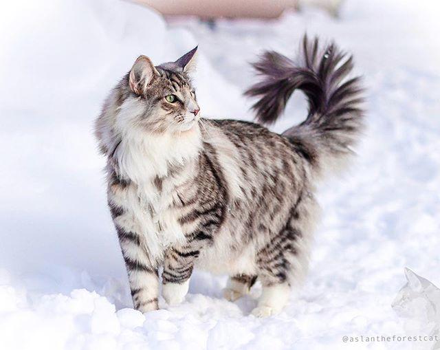 Siberian Vs Norwegian Forest Cat In 2020 Siberian Forest Cat Norwegian Forest Cat Forest Cat