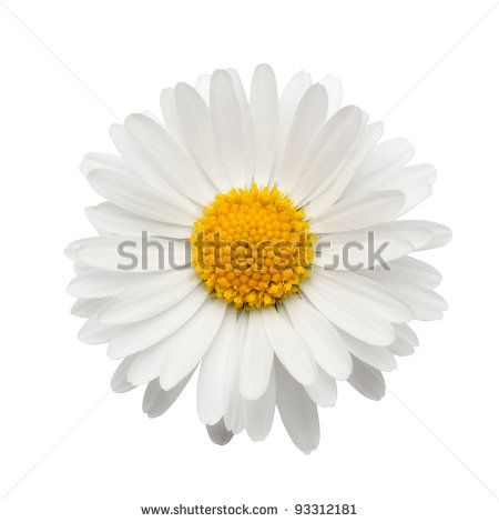 beautiful flower daisy on white background - stock photo