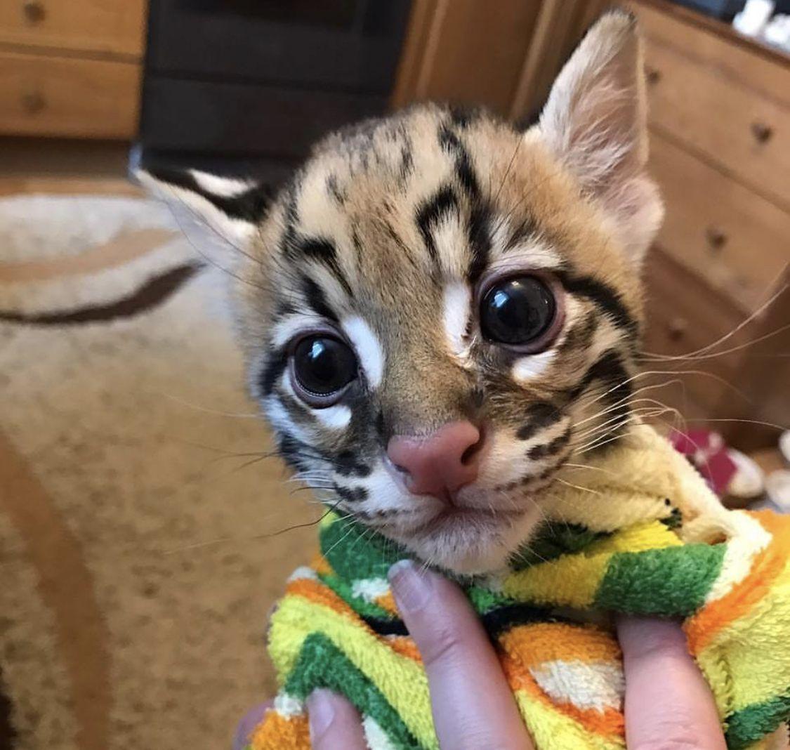 Ocelot / Asian Leopard Cat Breeder in USA in 2020 Asian